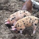 Gloucestershire Old Spot and  Tamsworth heritage breed pigs