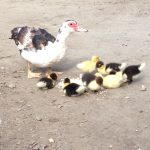 Muscovy duck and her new ducklings