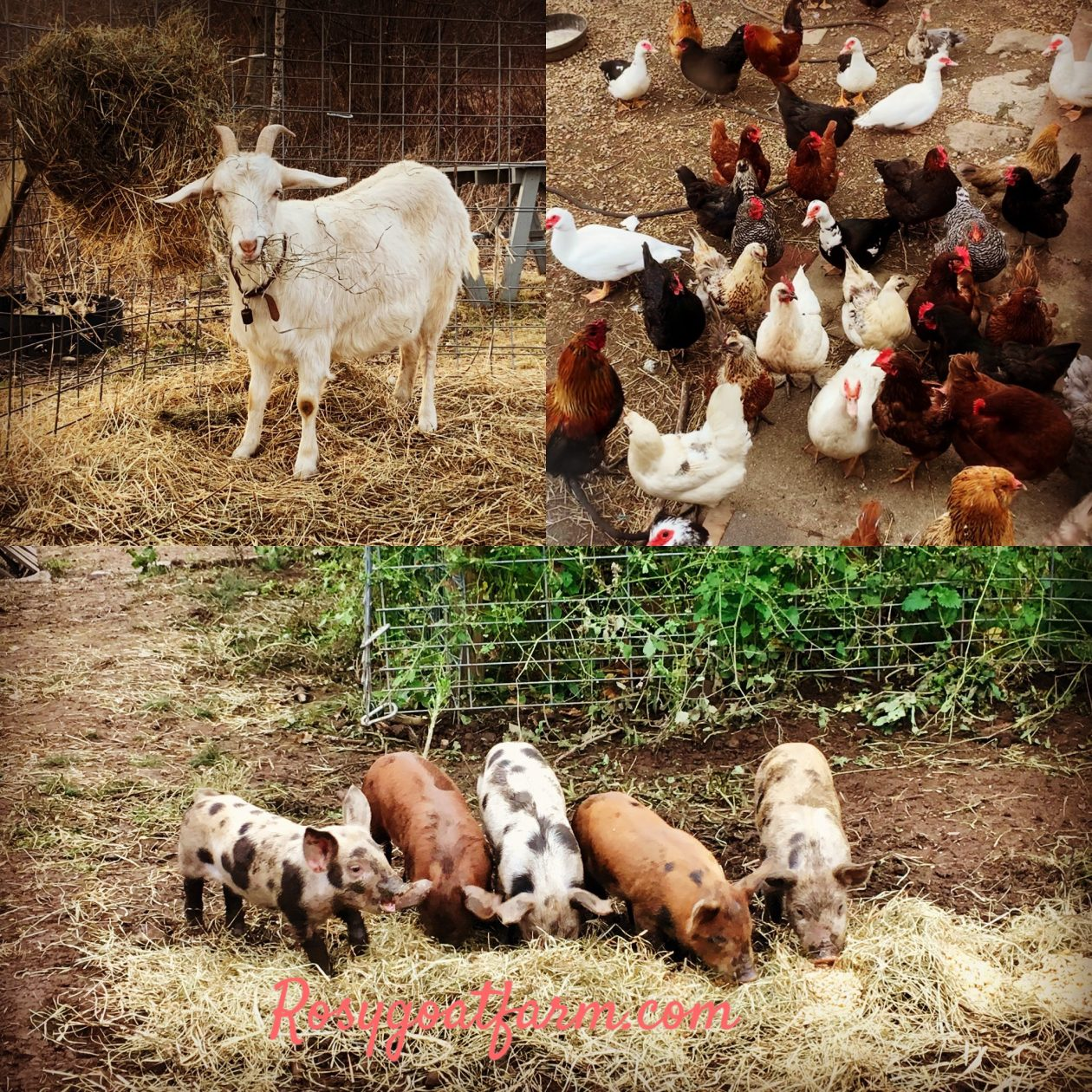 Rosy Goat Farm – a small family farm in Gilbertville, MA